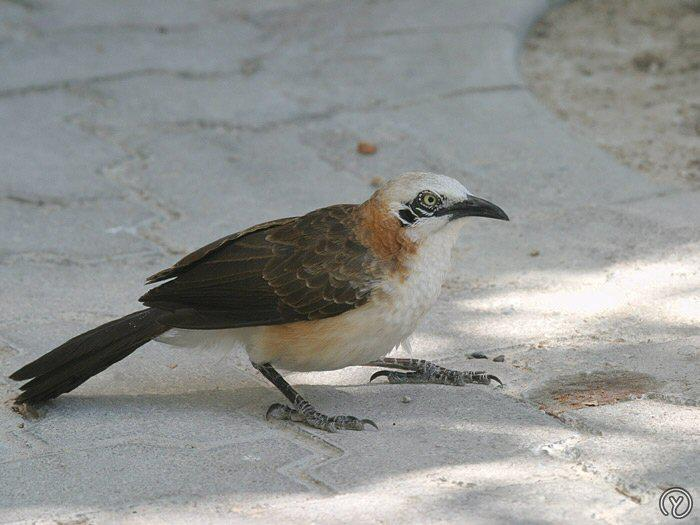 Bare-Cheeked Babbler - photo from Mangoverde