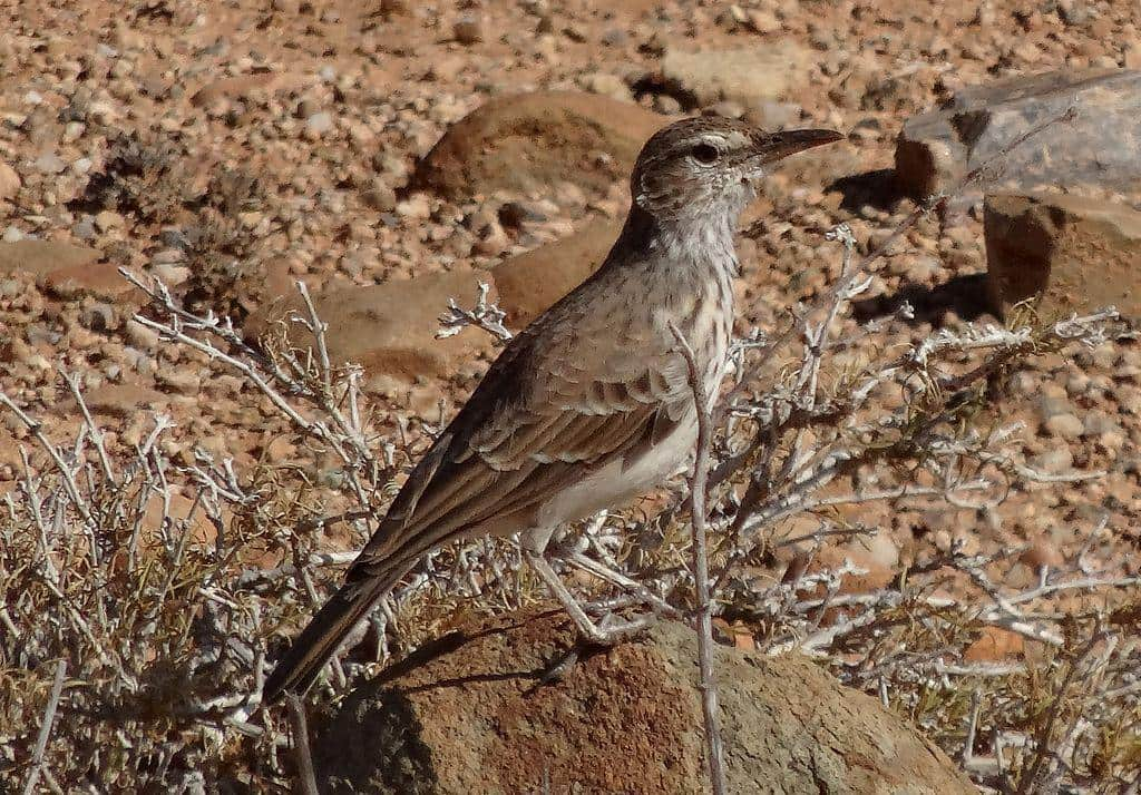 Benguela Long billed Lark - photo by Katie Reese (Wikipedia)