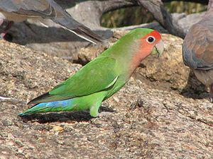 Rosy-faced Lovebird - photo courtesy of Alistair Rae (Wikipedia)