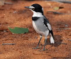 White-tailed Shrike - photo courtesy of Biodiversity
