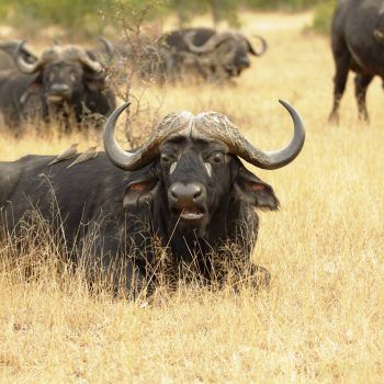 buffalo in the tall Namibian grasses
